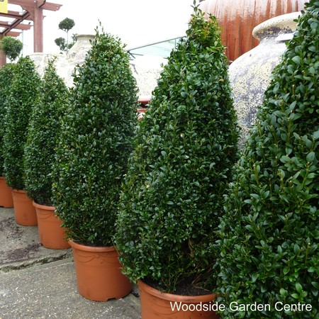 Huge 90cms Evergreen BOX Buxus Topiary PYRAMID 3ft above Pot Collection Kent