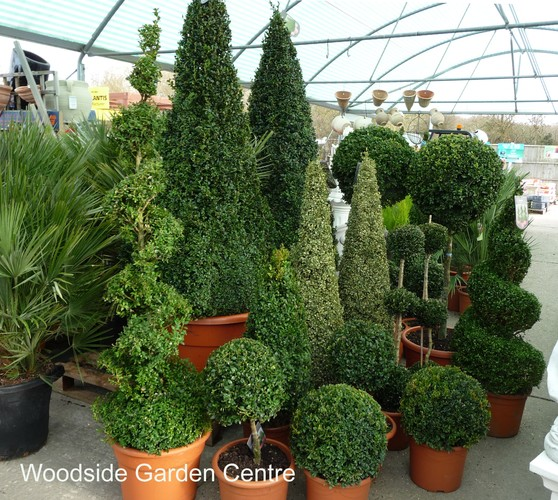 Large Variegated Buxus Pyramid Plant Woodside Garden
