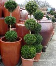 Buxus 4 Ball Standard Topiary Plant Essex