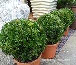 Buxus Ball Topiary Shrub 25cm Garden Plant